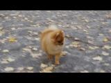 Щенок немецкого миниатюрного шпица, девочке 6.5 месяцев - умница, классная!!!)))